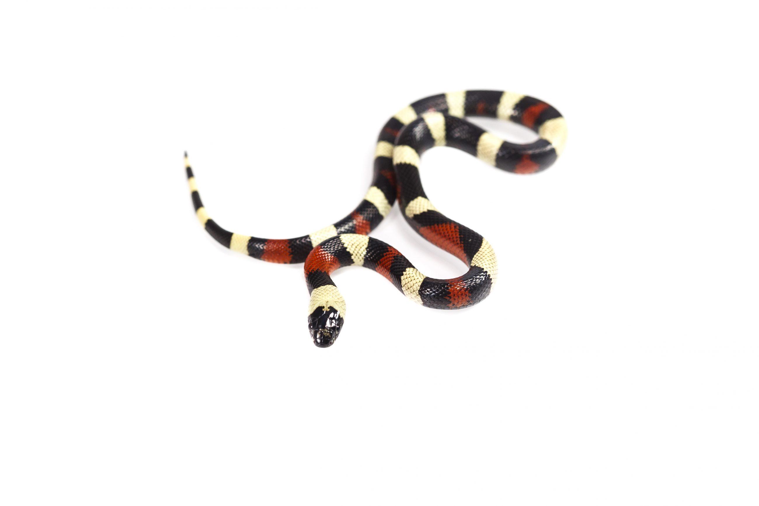 Pueblan Milk Snake Morphs