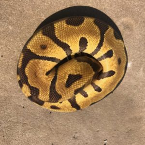 Snakes   Port Credit Pets   Reptile Central